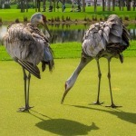 Sandhill Cranes trim the green at PGA National
