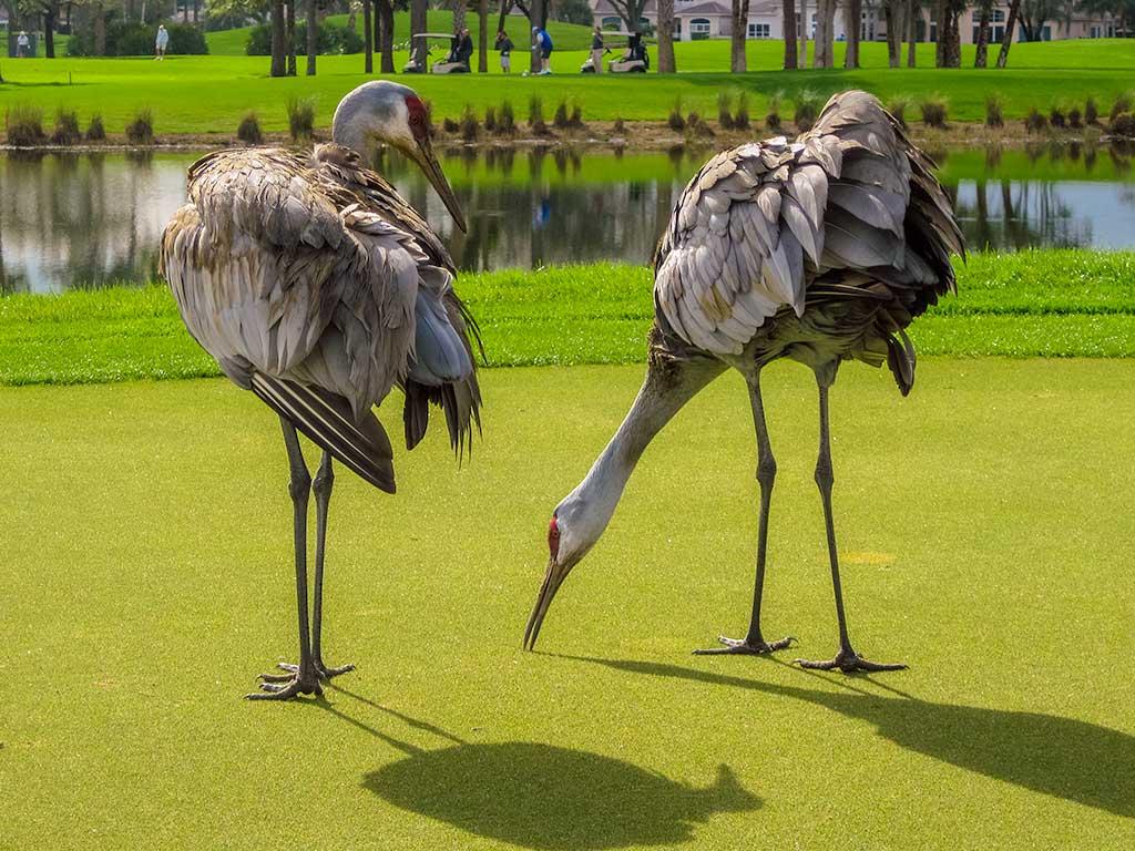 Sandhill Cranes trim the green at PGA National