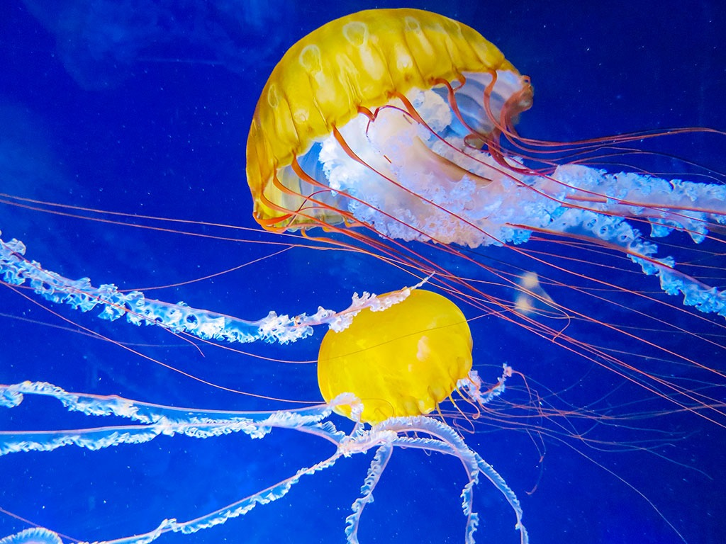 Jellyfish at Aquarium of The Bay